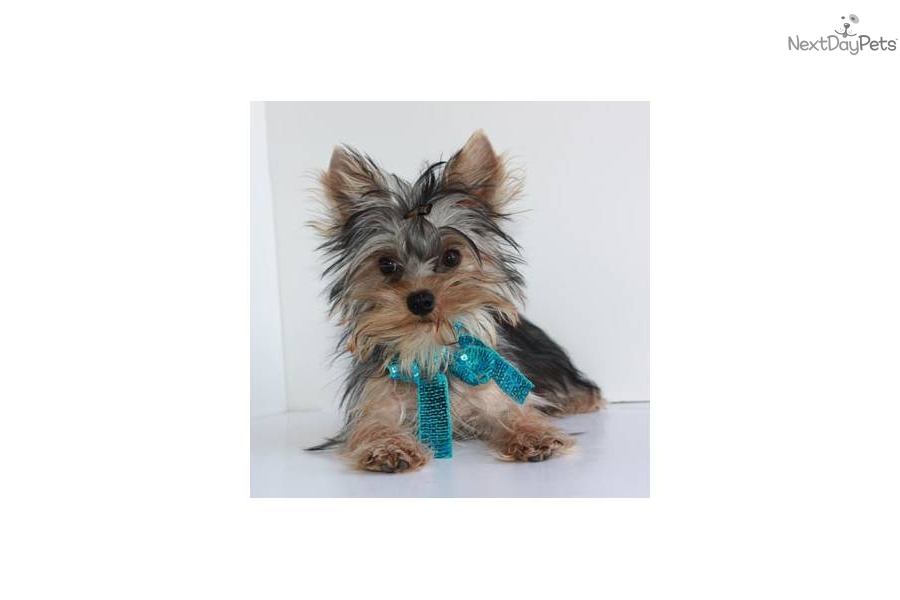 wow---free-shippingnow-teacup-yorkiedog-yorkshire-terrier-yorkie-puppy