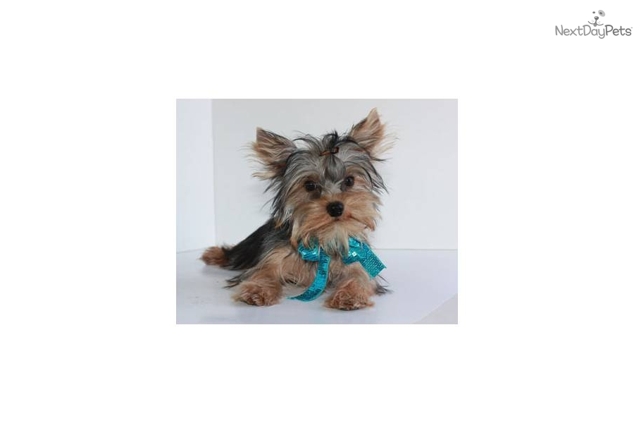 Free Teacup Yorkshire Terrier Puppies