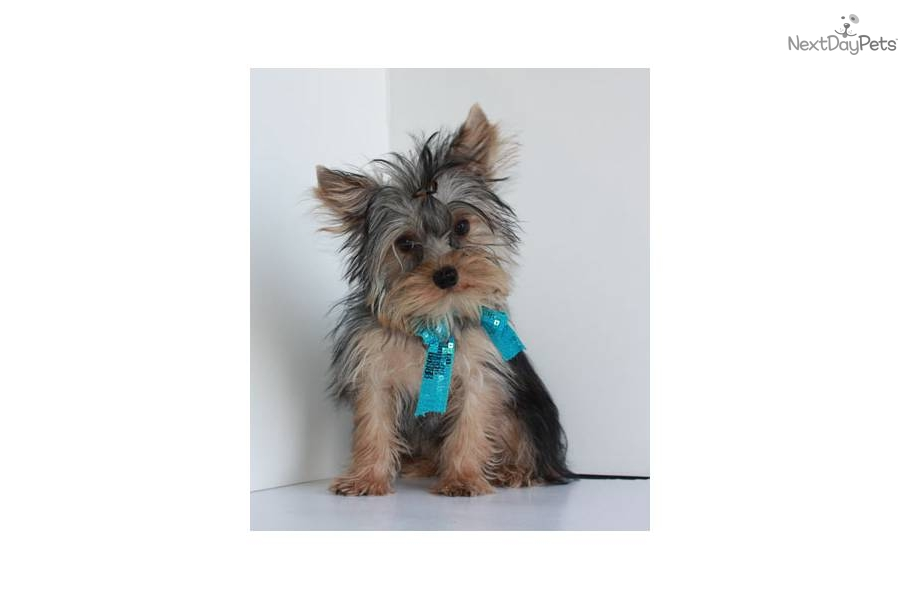 Teacup Yorkshire Terrier Puppies for Free