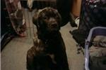Featured Breeder of Bullmastiffs with Puppies For Sale