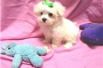 Picture of Teacup maltese!