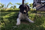 Picture of Border Collie Puppy - Jack