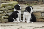 Picture of Border Collie Puppy - Lilly
