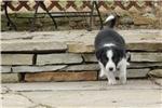 Picture of Border Collie Puppy - Duke