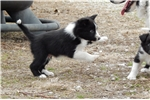 Picture of Border Collie Puppy - Cody
