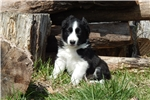 Border Collie Puppy - Duke | Puppy at 11 weeks of age for sale