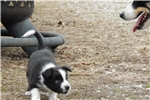 Picture of Border Collie Puppy - Scout