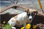 Picture of Adorable Irish Jack Russell