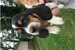 Picture of AKC registered basset