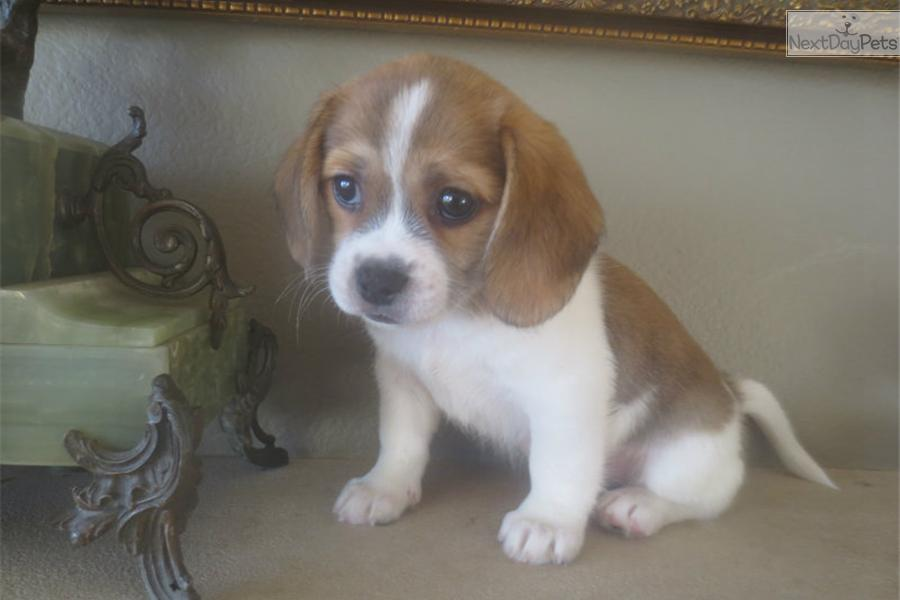 Image Result For Beagle Puppies California