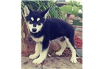 Picture of Gorgeous Alaskan Malamute Puppy! microchipped