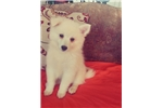 Picture of Gorgeous Am Eskimo Puppy! microchip