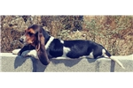 Picture of Tricolored Bassett Hound Puppy! microchipped