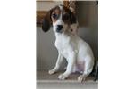 Picture of Beagle puppy! microchip health guarantee
