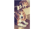 Picture of Beagle puppy! blue eye microchip health guarantee