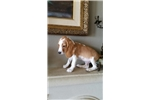 Picture of Lemon and white BEAGLE PUPPY! microchipped