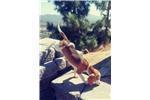 Picture of Lemon tri beagle Puppy! microchip *vet check