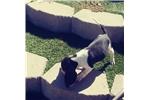 Picture of Beagle puppy! microchip health guarantee Vet check