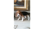 Beagle for sale