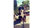 Picture of Bernese Mountain Dog! male puppy microchipped