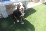 Picture of Bernese Mountain Dog! female puppy microchipped