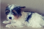 Picture of a Biewer Terrier Puppy