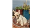 Picture of White French Bulldog puppy! Neutered *microchipped