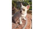 Picture of Creme Male French Bulldog puppy! Neutered microchi