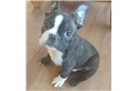 Picture of  French Bulldog Puppy! microchip *vet chec