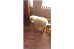 Picture of Great pyrenees puppy! Stunning Boy! microchipped