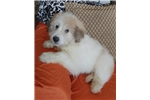Picture of Anatolian Pyrenees Puppy! microchip *vet checked