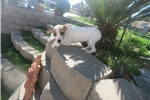 Picture of jack Russell Terrier Puppy! female *microchip