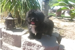 Picture of Lhasa Apso Puppy! Neutered *microchipped