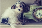 Picture of Parti-Morkie Puppy! Neutered Microchipped