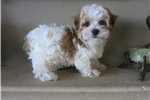 Picture of Toy Parti Morkie Puppy! Microchip