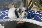 Picture of Parti Morkie Puppy! NEUTERED Microchip