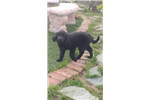 Picture of Gorgeous Newfie Puppy! microchipped Health guarant