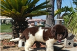 Picture of Landseer Newfi male! Bronze white microchip