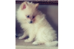 Picture of Gorgeous Creme Pomeranian Puppy! microchip
