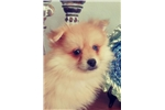Picture of Gorgeous Blue-eyed Apricot Pomeranian Puppy! micro