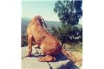 Picture of AKC Rhodesian Ridgeback Puppy! Parents OFA