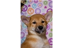 Picture of NEUTERED Red Shiba Inu puppy! male microchipped