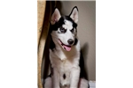 Picture of  Double Blue Siberian Husky Puppy! microchip