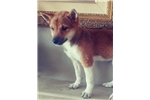 Picture of Gorgeous  Red Shiba Inu puppy! male microchipped