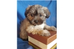 Picture of Adorable Shih Tzu Puppy! microchipped *vet checked