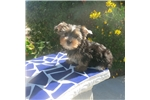Picture of  Toy yorkie Puppy! microchipped *vet checked *