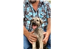 Picture of 7 week old male Irish Wolfhound