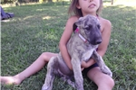 Picture of 7 week old female Irish Wolfhound