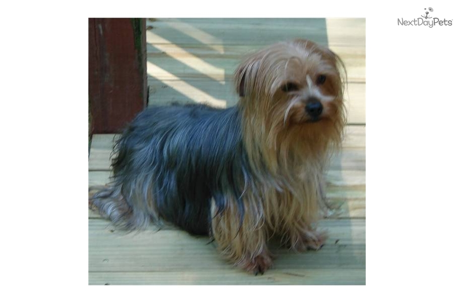 Yorkshire Terrier - Yorkie for sale for $400, near Bloomington ...: nextdaypets.com/directory/dogs/222b8e11-d5b1.aspx
