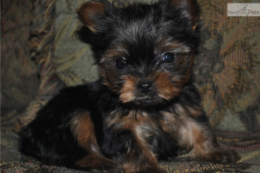 ... Pictures yorkie puppies teacup puppies for sale teacup yorkshire los